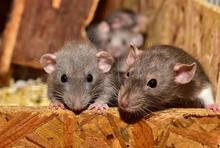 cute-rodent-mouse-small-animal